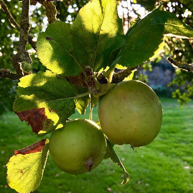Apple harvesting today!  We have 10 apple trees in our little orchard, one the size of an oak tree...we would welcome any useful tips for reaching the apples from the top branches (without a ladder)? 🍏 https://www.truegrace.co.uk/m/shop/fragrances/orchard