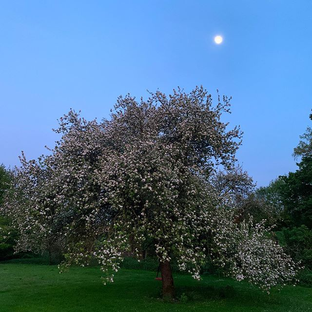 This evening...apple tree in the garden 🍏